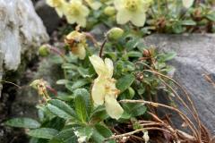 Rh lowndesii flowers