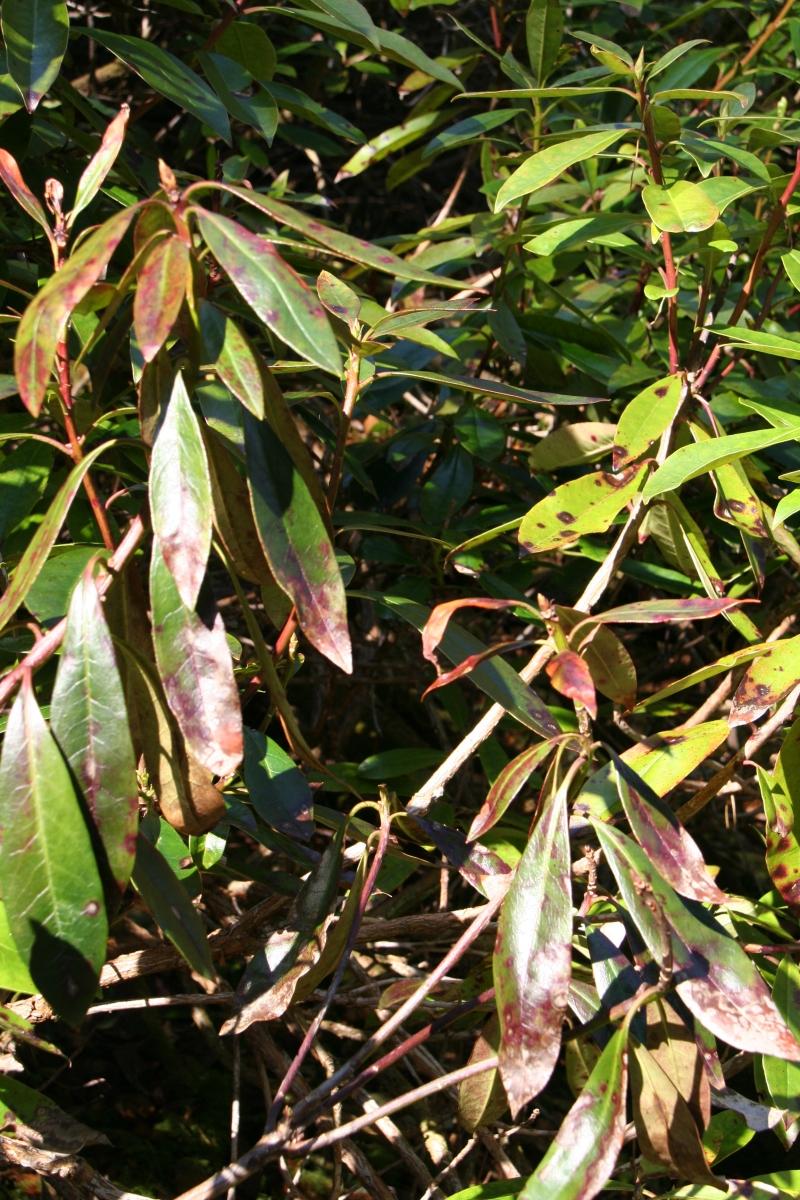Phytopthora on leaves