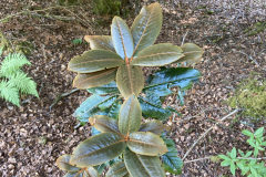 Rh circcinatum foliage