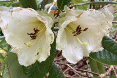 Rh excellens flowers