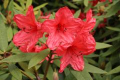 Rh griersonianum flowers