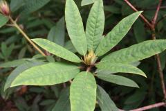 Rh griersonianum upper leaf