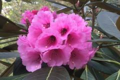 Rh kesangiae flower CHM3099