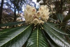 Rh sinogrande flower SBEC collection